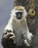 Einzelner Schwarz-gesichtiger Vervet-Affe in einem Baum Stockfoto