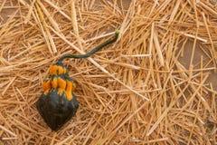 Einzelner schwarzer, orange und grüner Kürbis auf einem Strohlager, Halloween-Danksagungsfallernte-Herbsthintergrund lizenzfreie stockfotos