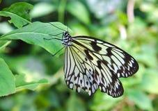 Einzelner Schwarzweiss-Schmetterling auf einem Grün Stockbilder