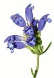 Einzelner Stamm von hellen Lavendel-blauen Blumen Stockbild
