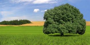 Einzelner, starker Baum auf dem Gebiet, Landschaft, Sommer Lizenzfreies Stockfoto