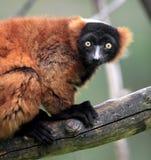 Einzelner Vari-Maki im zoologischen Garten Stockfotos