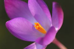 Einzelner violetter Krokus lizenzfreies stockbild