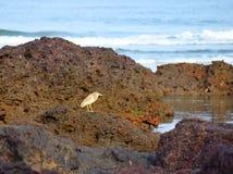 Einzelner Vogel, der auf einem Felsen auf einem Strand steht - indischer Teich-Reiher - Ardeola Grayii Stockfoto
