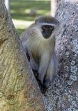 Einzelner wachsamer Vervet-Affe, der auf Niederlassung des Baums sitzt Lizenzfreie Stockfotografie