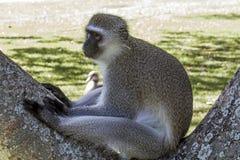 Einzelner wachsamer Vervet-Affe, der auf Niederlassung des Baums sitzt Lizenzfreies Stockfoto