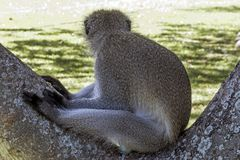 Einzelner wachsamer Vervet-Affe, der auf Niederlassung des Baums sitzt Stockfoto