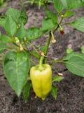 Einzelner wachsender grüner Paprika Lizenzfreie Stockfotografie