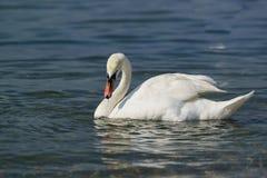 Einzelner weißer erwachsener Höckerschwan Lat Cygnus olor ist ein Vogel der Entenfamilie - das blaue Wasser Lizenzfreie Stockfotos