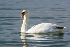 Einzelner weißer erwachsener Höckerschwan Lat Cygnus olor ist ein Vogel der Entenfamilie - trocknen Sie die Tatze über Wasser Stockbilder