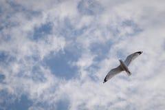 Einzelner weißer Seemöwenvogel, der hoch in den Himmel mit Flügelverbreitung fliegt lizenzfreie stockbilder