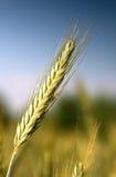 Einzelner Weizen getrennt auf einem unscharfen Hintergrund Lizenzfreie Stockfotos