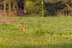 Einzelner wilder Hase mit den großen Ohren sitzt auf Wiese Lizenzfreie Stockfotos