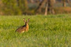 Einzelner wilder Hase mit den großen Ohren sitzt auf Wiese und isst Gras Lizenzfreies Stockbild