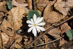 Einzelner Wildflower Bloodroot - Sanguinaria Canadensis Stockbilder