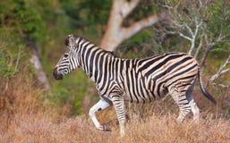 Einzelner Zebra (afrikanisches Equid) Stockfotos