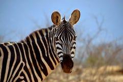 Einzelner Zebra isst Gras Lizenzfreie Stockfotos