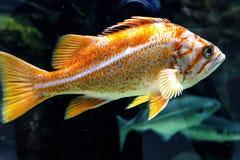Einzelner zitronengelber Klippenbarsch - fischen Sie von der Nordostregion von Pacif Lizenzfreie Stockfotos