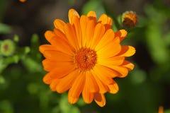 Einzelnes blühendes orange margold im Garten auf grünem Hintergrund Lizenzfreie Stockbilder