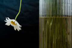Einzelnes Gänseblümchen Stockfoto