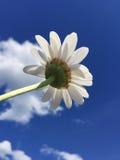 Einzelnes Gänseblümchen gegen einen klaren blauen Himmel Stockfotos