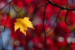 Einzelnes gelbes Ahornblatt, das an dem Leben anhaftet stockbilder