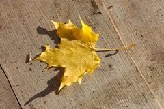 Einzelnes gelbes Ahornblatt liegt auf der Holzoberfläche Stockfoto