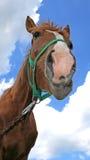 Einzelnes glückliches Pferd Stockfotos