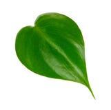 Einzelnes grünes Blatt Stockbild