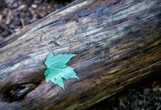 Einzelnes grünes Blatt auf niedergeworfenem Baumklotz stockfotografie