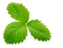 Einzelnes grünes Erdbeereblatt getrennt auf Weiß Lizenzfreies Stockbild