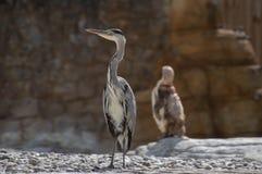 Einzelnes Grey Heron und ein Pinguin stockfoto