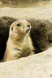 Einzelnes Grundschwein, das aus seinem Loch heraus emporragt stockfotos