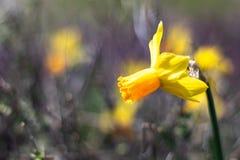 Einzelnes helles, glückliches, nettes, gelbes Gold und orange spezielle einzigartige Frühling Ostern-Narzissenbirne, die herein i stockfoto