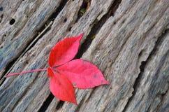 Einzelnes Herbstrotahornblatt auf altem Baumstumpf Stockbilder