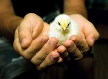 Einzelnes Huhn in den menschlichen Händen Stockfoto