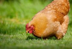 Einzelnes Huhn im grünen Gras Stockbild