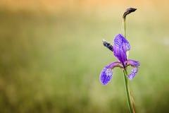 Einzelnes Iris sibirica in der Wiese Stockbilder
