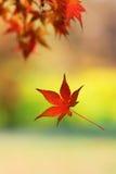Einzelnes japanisches Ahornblatt, das von einem Baumast fällt Stockfotografie