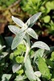 Einzelnes Lämmer Ohr oder Stachys byzantina Zierpflanze mit Spitze wie den Stämmen und starken Blättern dicht bedeckt auf beiden  stockfoto