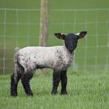 Einzelnes Lamm in einer Rasenfläche im Frühjahr Lizenzfreies Stockbild
