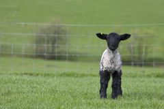 Einzelnes Lamm in einer Rasenfläche im Frühjahr Lizenzfreie Stockfotografie