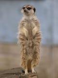 Einzelnes Meercat Lizenzfreies Stockbild