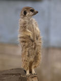 Einzelnes Meercat Stockbilder
