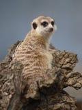 Einzelnes Meercat Lizenzfreie Stockfotos