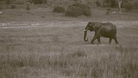 Einzelnes nasses afrikanischer Elefant-Gehen Lizenzfreie Stockfotos