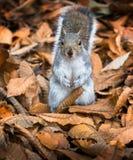 Einzelnes nettes graues Eichhörnchen in einem Bett von gefallenen Blättern Stockfoto