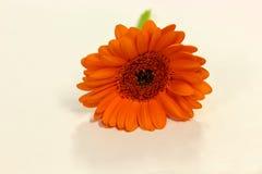 Einzelnes orange Gänseblümchen auf einem einfachen Hintergrund Stockfotografie