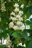 Einzelnes panicle von Blumen von Aesculus hippocastanum Stockbild