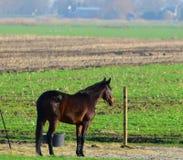 Einzelnes Pferd, das heraus anstarrt lizenzfreies stockbild
